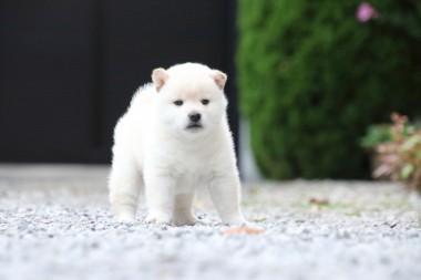 白い柴犬の子犬